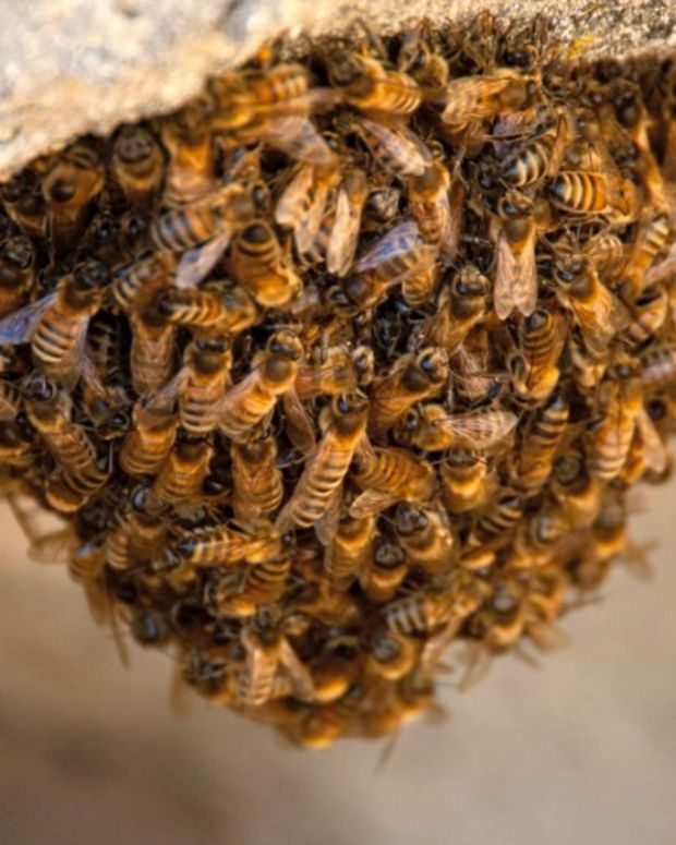 Bees Swarm Baseball Field During Spring Training Game (Video) Promo Image
