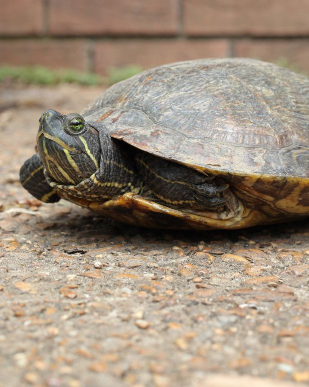 Men Beat Disabled Veteran For Trying To Save Turtle (Photo) Promo Image