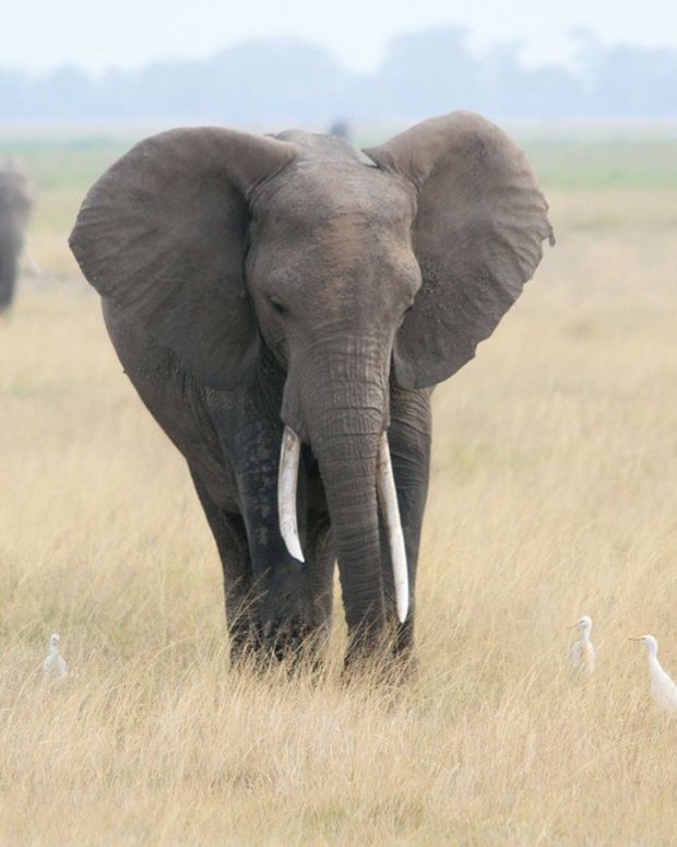 Big Game Hunter Crushed By Elephant He Shot To Death (Photo) Promo Image
