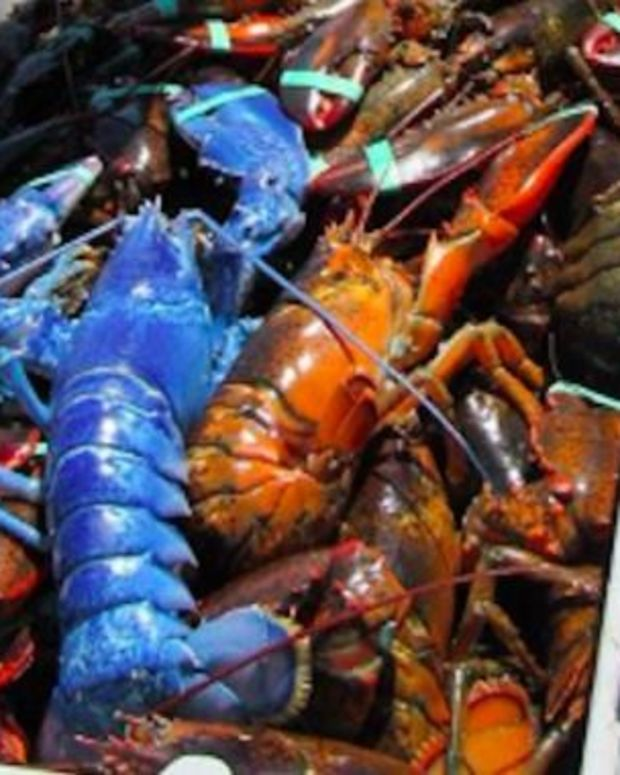 Cape Cod Lobsterman Catches Rare Blue Lobster (Photo) Promo Image