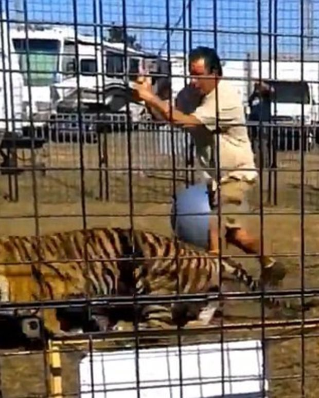 Tiger Attacks Trainer In Front Of School Group (Video) Promo Image