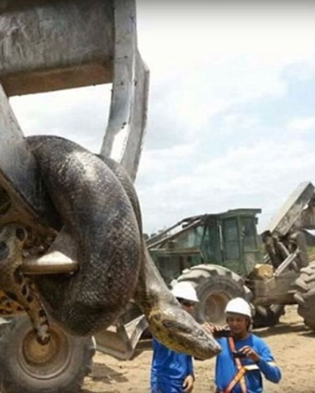 Massive Snake Found At Construction Site (Photos) Promo Image