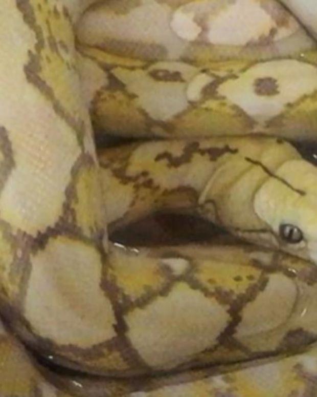 Python Found In Hotel Room Drawer Promo Image