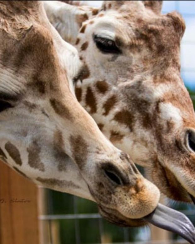 YouTube Pulls Live Stream Of Giraffe Birth For Nudity (Video) Promo Image