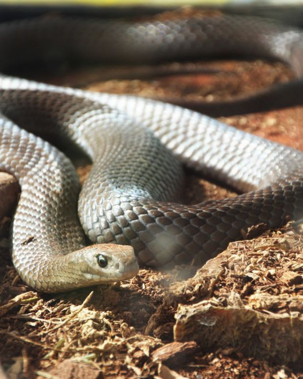 Eastern Brown Snake Slithers Past 2-Year-Old Girl (Photo) Promo Image