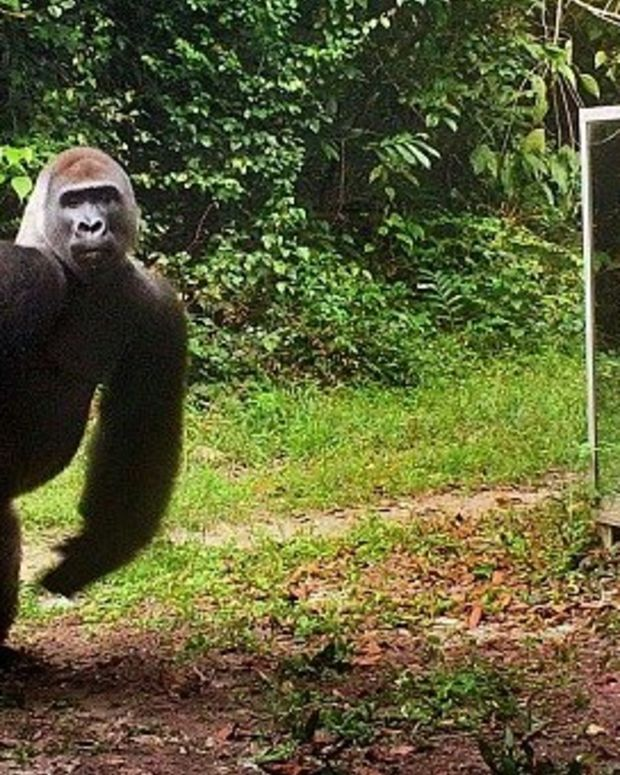 Gorilla Loses It When He Sees Himself In Mirror (Video) Promo Image