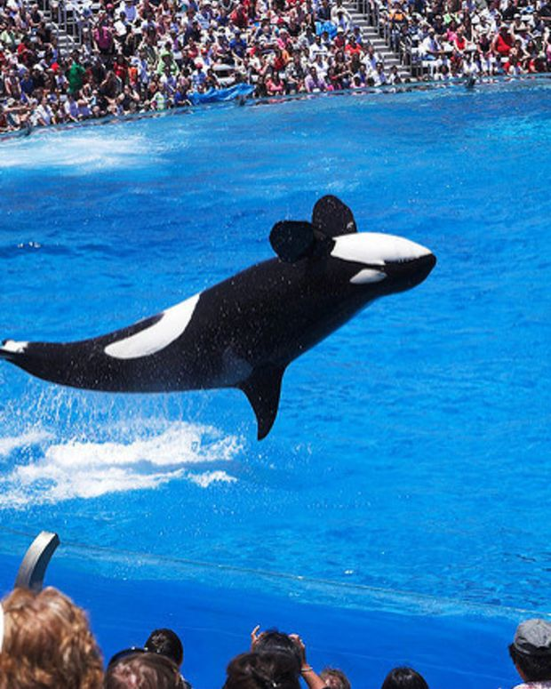 California Bans SeaWorld Orca Shows Promo Image