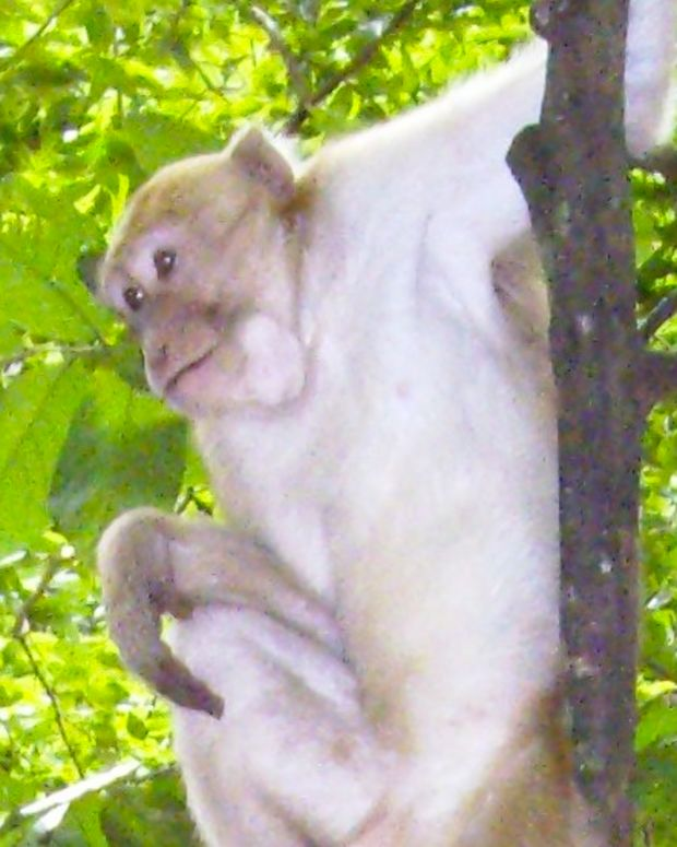Monkey Adopts Stray Puppy (Video) Promo Image