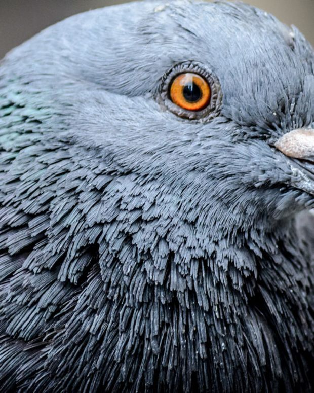 Police Catch Pigeon Smuggling Drugs Promo Image