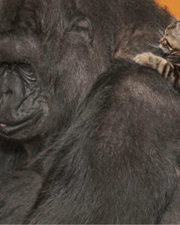 Gorilla Gets Kittens For Her Birthday, Falls In Love (Video) Promo Image