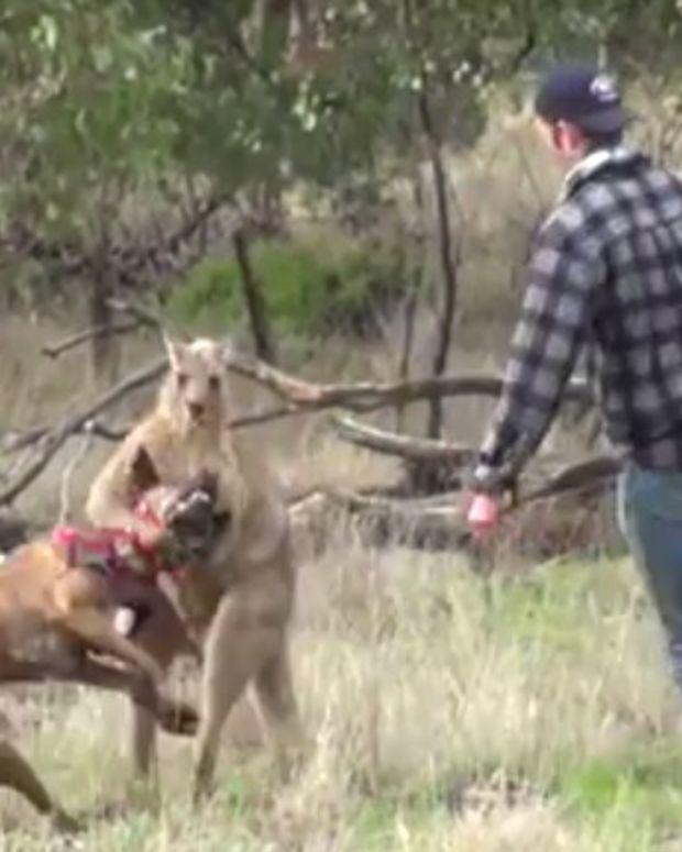 Man Punches Kangaroo To Save Dog (Video) Promo Image