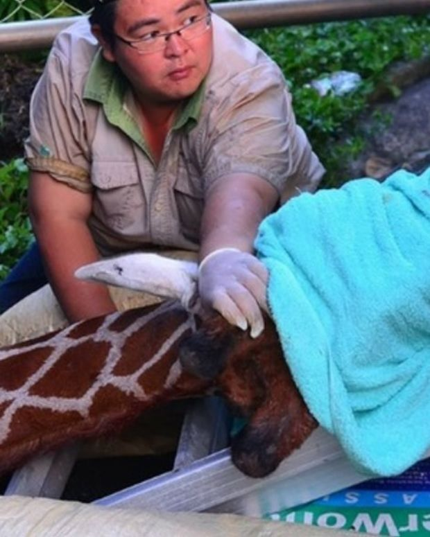 Giraffe Dies Of Anxiety During Transport Promo Image