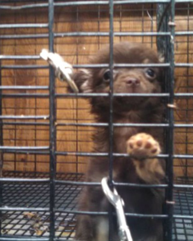 500 Dogs Rescued From Puppy Mill Get A New Start (Video) Promo Image
