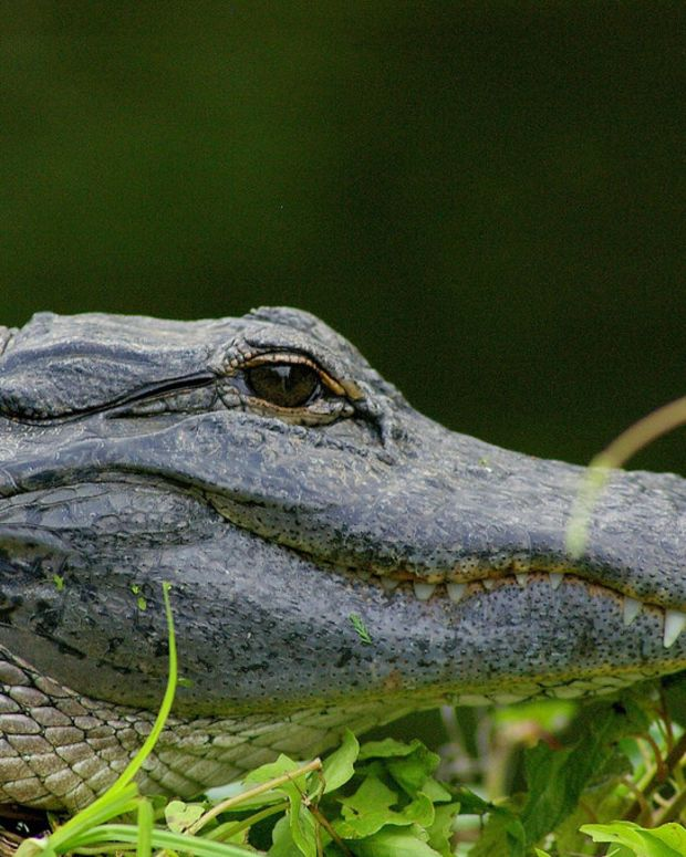 Pilot Eaten By Alligator After Plane Crash (Photos) Promo Image