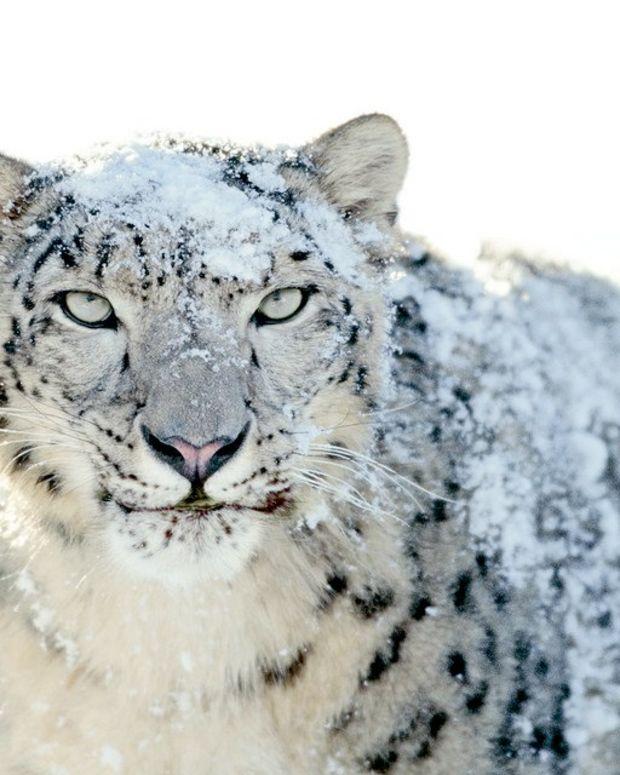Hunter Faces Backlash For Killing Rare Snow Leopard Promo Image