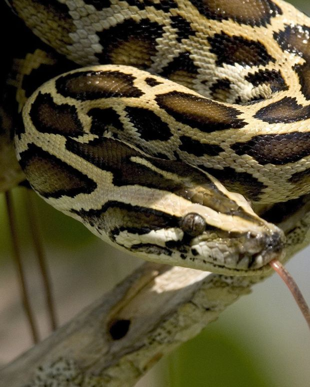 Record-Breaking Python Found In Florida Everglades (Photos) Promo Image