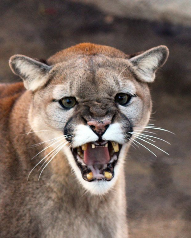 Dead Cougar Discovered In Airport Luggage Promo Image