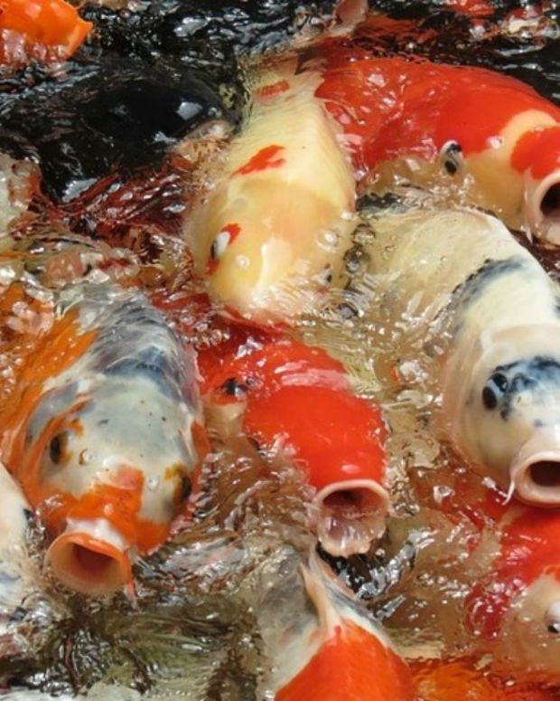 Trump Dumps Food In Koi Pond, Sparks Controversy (Photos) Promo Image