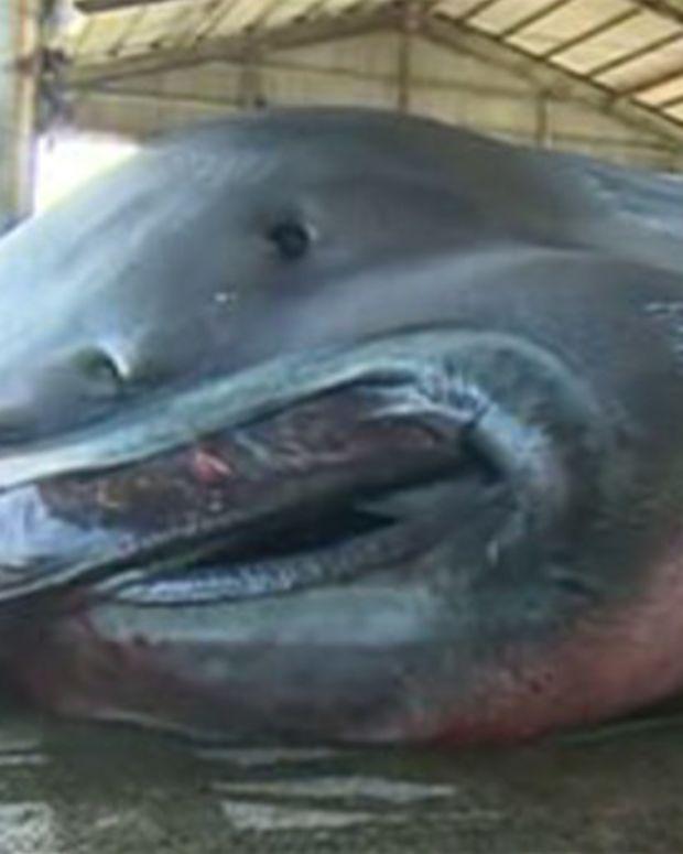 Rare 'Megamouth' Shark Caught In Japan (Photos) Promo Image