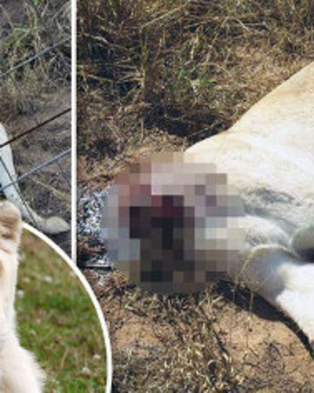 Pair Of Lions Found Beheaded In South Africa (Photos) Promo Image