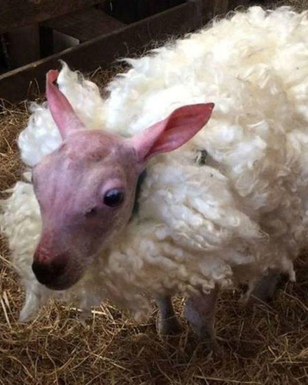 Unique Lamb Quickly Goes Viral Promo Image
