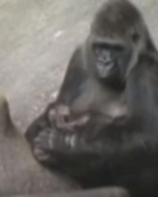 20-Year-Old Video Shows Gorilla Saving A Boy (Video) Promo Image