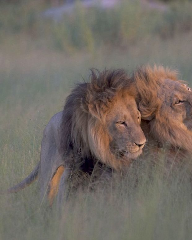 Pictures Capture Male Lions Mating In Botswana Promo Image
