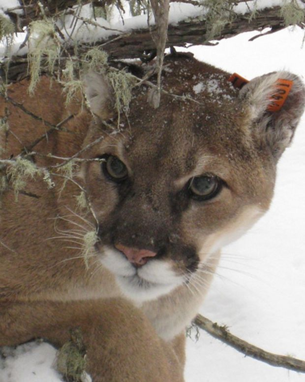 A Mountain Lion With A Deformity.