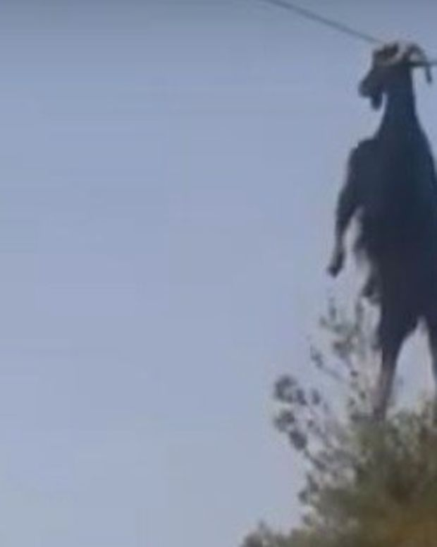 Men Rescue Goat From Power Line (Video) Promo Image