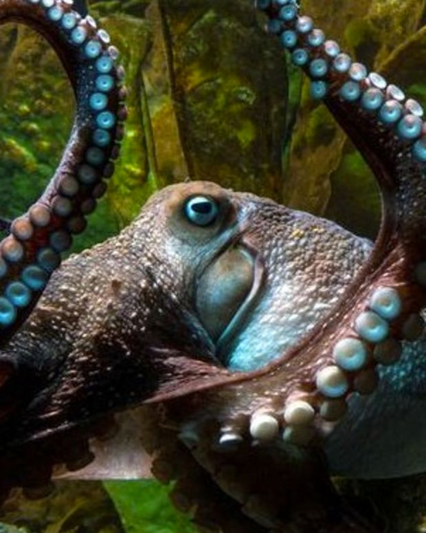 Octopus Escapes From New Zealand Aquarium (Video) Promo Image