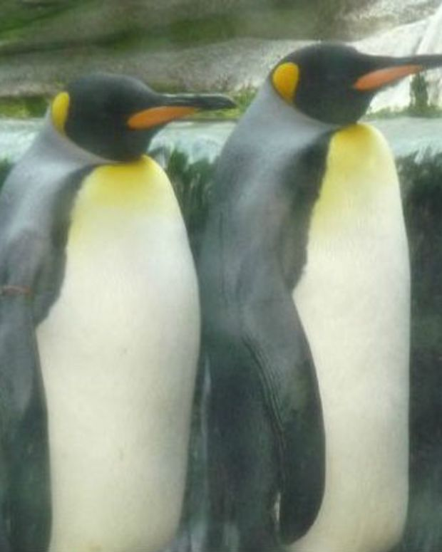 Gay Penguin Couple Allowed To Settle Down Together Promo Image
