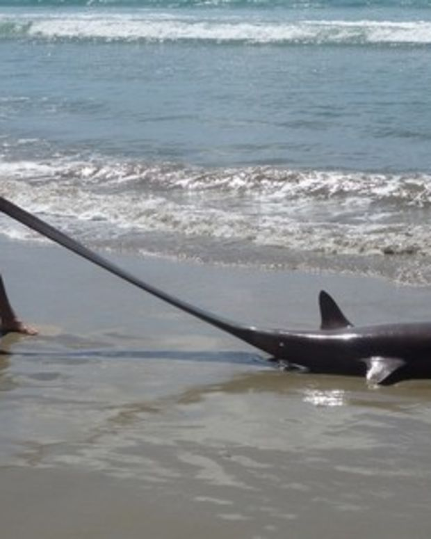 Thresher Shark Washes Ashore In New Zealand (Photos) Promo Image