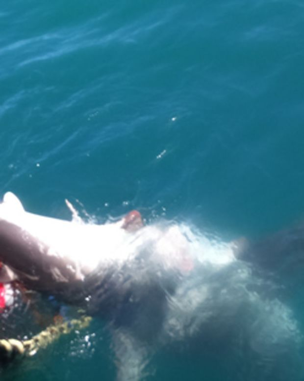 great white shark stuck in crayfish pot