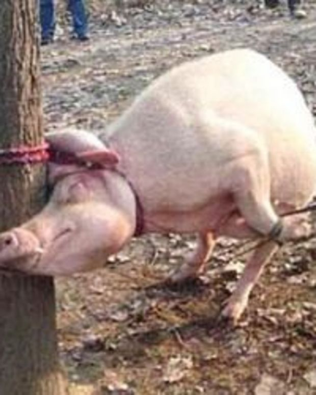 Mother Pig Eats 2-Year-Old Boy - And Then It Gets So Much Worse Promo Image