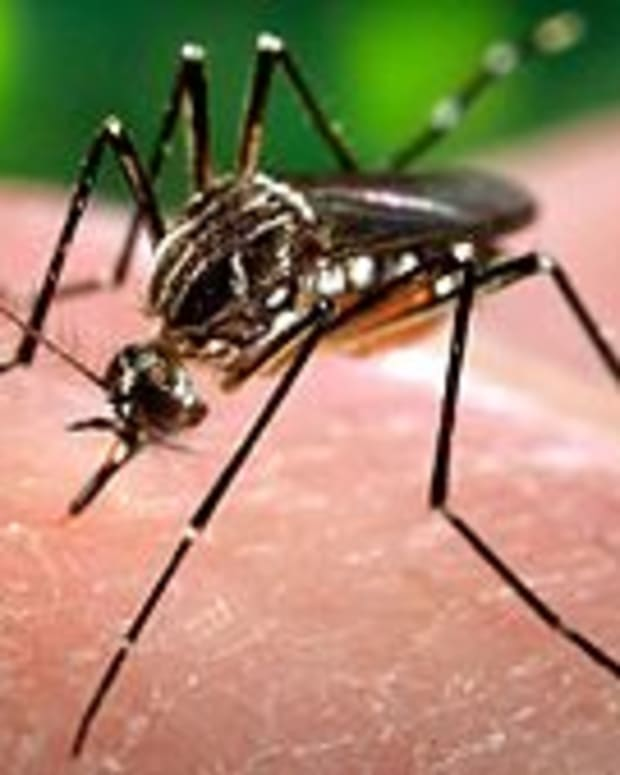 A Mosquito Carrying The Zika Virus