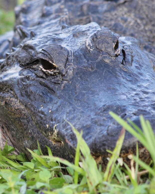 10-Year-Old Girl Escapes Alligator Attack With Trick Promo Image