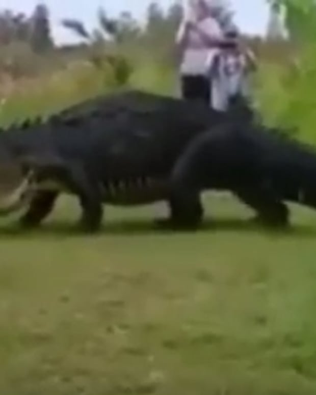 Giant Gator Comes Within Feet Of Tourists (Video) Promo Image