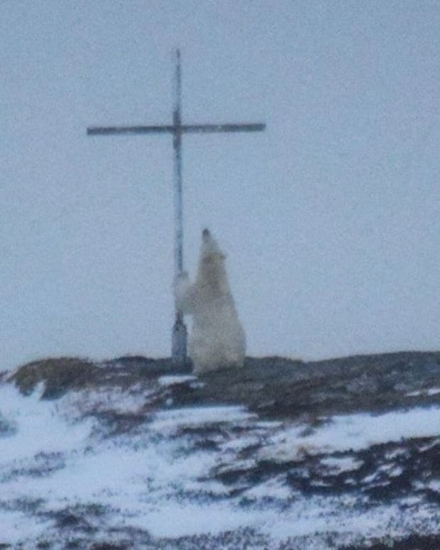 Photographer: Polar Bear Was 'Praying' At Cross Promo Image