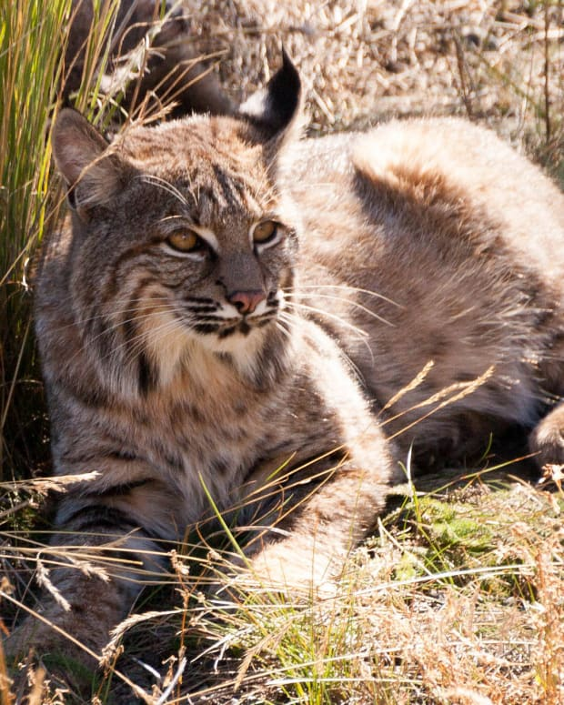 Elderly Woman Fights Off Attacking Bobcat (Photos) Promo Image