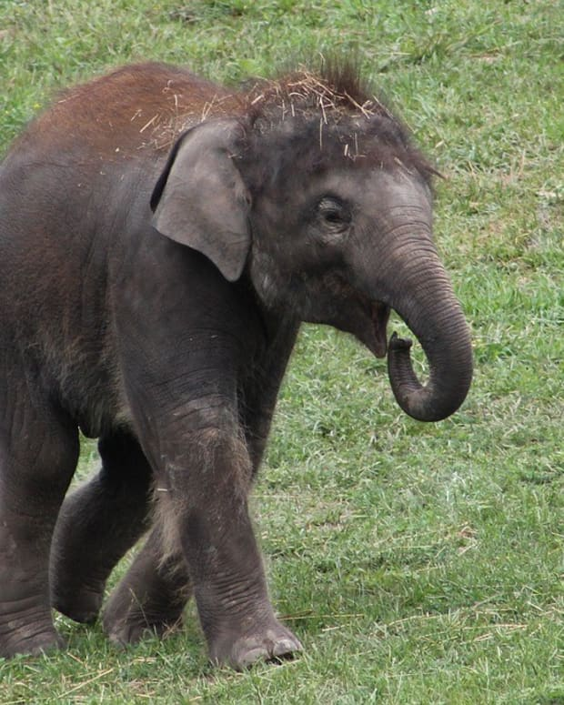 Baby Elephant Shocked To Find Woman Doesn't Have Trunk (Video) Promo Image