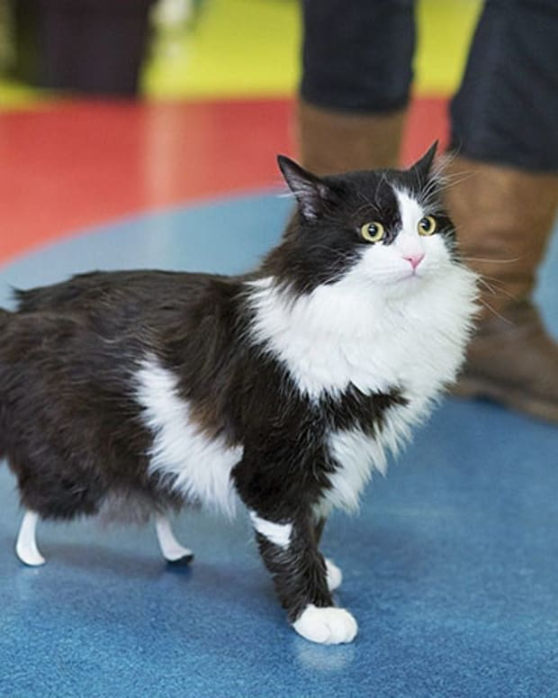 Cat Walks For The First Time On New Bionic Legs (Video) Promo Image
