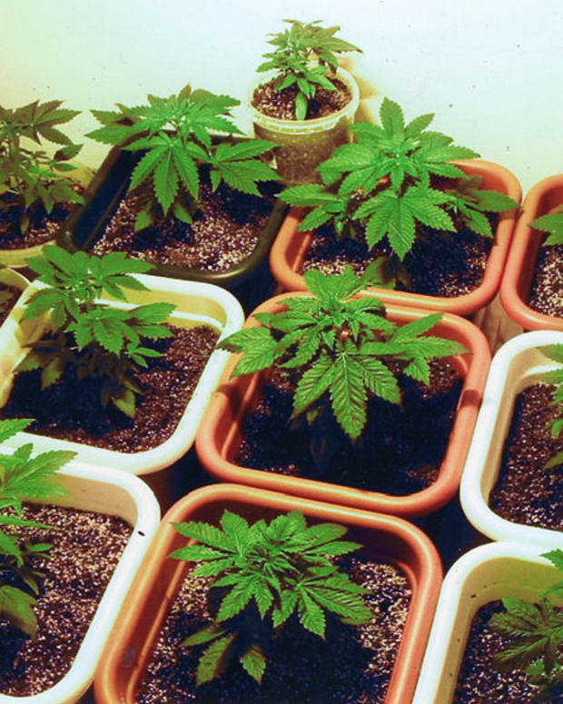 Cannabis Plants.
