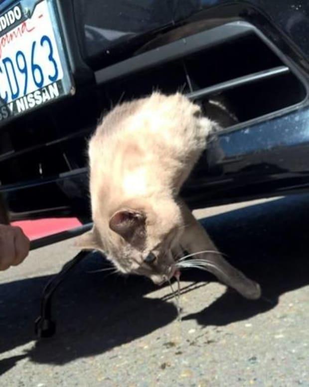 Cat Survives 8-Mile-Ride In Car Bumper Promo Image