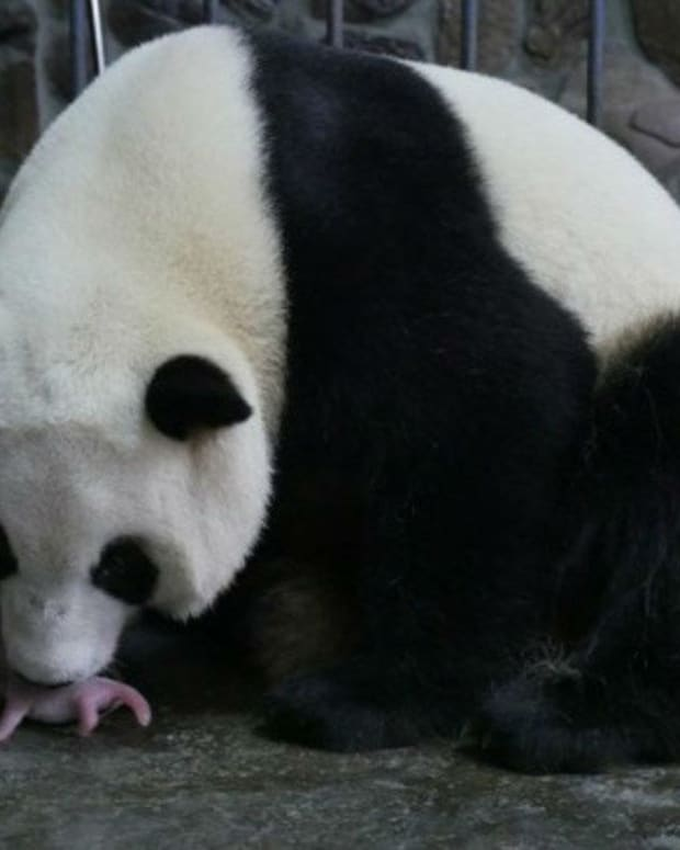 This Is What A Newborn Panda Looks Like (Photos) Promo Image