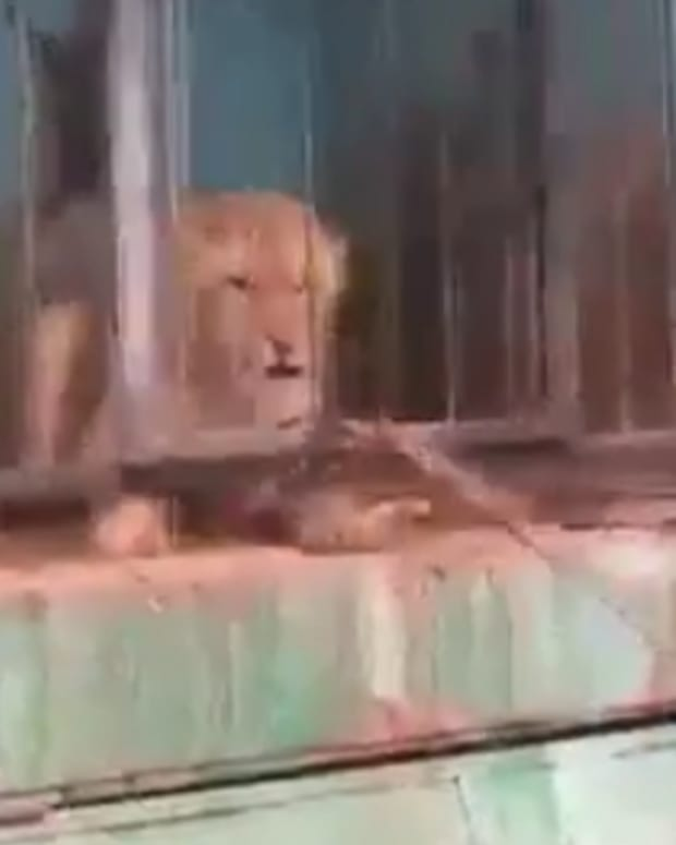 Lion in Armenian Zoo