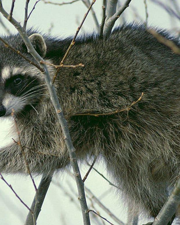 'Friendly' Raccoon Bites Man's Hand (Video) Promo Image