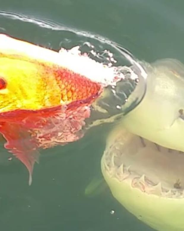 Great White Shark that fishermen came across