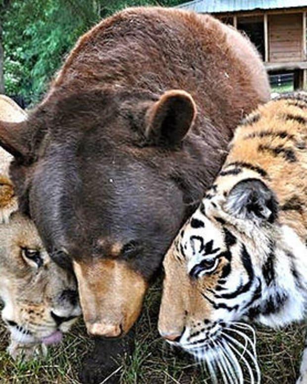 Lion, Tiger, Bear (Photos) Promo Image