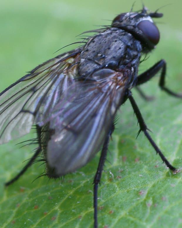 blackfly.JPG