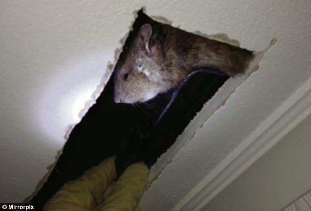 К чему снится убегающая крыса – вопрос своеобразный, но интересный.